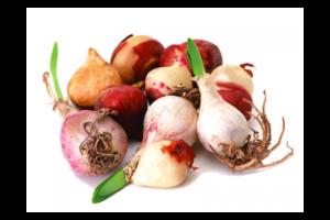 Как правильно хранить луковицы тюльпанов после цветения