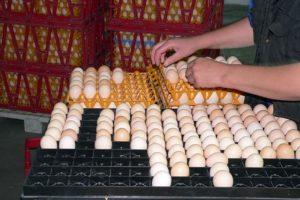 Как правильно хранить яйца для инкубации в домашних условиях