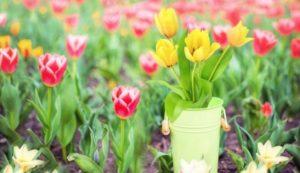 Когда выкапывать тюльпаны и как правильно хранить до посадки осенью