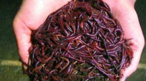 Правильное хранение червей для рыбалки в домашних условиях
