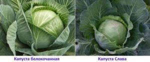 Самые лучшие сорта капусты для хранения и засолки