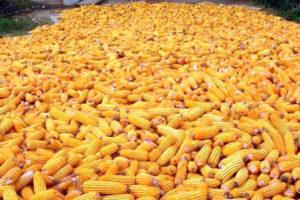 Как лучше всего хранить кукурузу в початках в домашних условиях